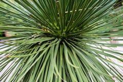 Liście dasylirion acrotrichum dracenaceae palmowego liścia rośliny drzewo od Mexico Zdjęcia Royalty Free