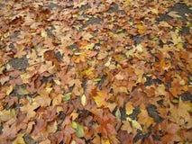 Liście drzewa w spadku fotografia royalty free