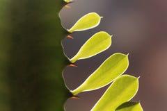 Liście euforbii roślina Obrazy Royalty Free