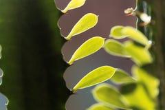 Liście euforbii roślina Obraz Royalty Free