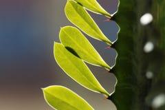 Liście euforbii roślina Zdjęcia Royalty Free