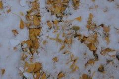 Liście Ginkotree w świeżym spadać śniegu fotografia royalty free