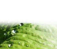 Liście hosta - zielony tło Obrazy Royalty Free