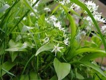 Liście i kwiat dziki czosnek obraz royalty free