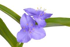 Liście i kwiaty purpurowa tradeskancja odizolowywająca obrazy royalty free