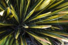 Liście jukki variegata w słońcu fotografia stock