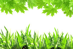 Liście klonowi i zielona trawa Obraz Royalty Free