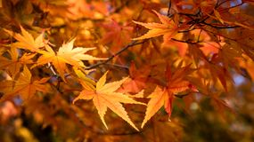Liście klonowi: Japonia jesień Fotografia Royalty Free