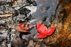 Liście Klonowi spadać od drzewa w wodzie fotografia stock