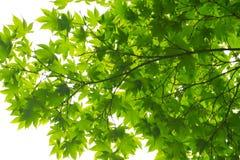 Liście klonowi widzieć od below Fotografia Stock