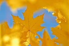 liście klonowi złote Fotografia Stock