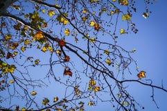 Liście klonowi z niebieskim niebem przy Grampians parkiem narodowym, jesień Australia Zdjęcie Stock