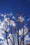 Liście klonowi z niebieskim niebem przy Grampians parkiem narodowym, jesień Australia Zdjęcia Stock