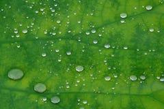 liście lotosu kroplę wody Obraz Royalty Free