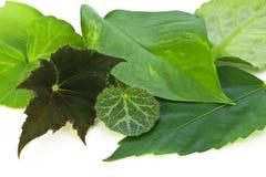 Liście północne salowe rośliny makro- obraz stock