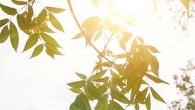 Liście parkowy drzewny chodzenie zwalniają na wiatrze z jaskrawym ranku słońcem na tle