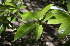 Liście Portugal laurowy drzewo w górę obraz stock