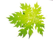 Liście, rośliny, opuszczają melonowa, kulinarne części Odizolowywać od białego tła fotografia stock