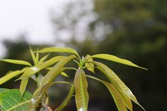 Liście są miękkim mango fotografia royalty free