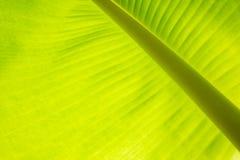 Liście textured bananowego drzewa zieleń Zdjęcia Stock