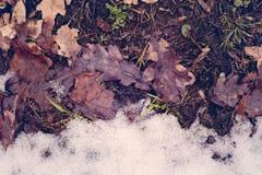 Liście w śniegu Kontrast jesień, zima Zmiana sezon Matt, rocznik, Indygowy Obraz Royalty Free