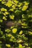 Liście w świetle słonecznym Fotografia Royalty Free