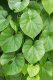 liście w kształcie serca Fotografia Stock