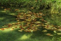 Liście W wodzie W Jamajka obrazy stock