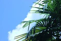 Liście wiatraczka drzewko palmowe przeciw niebieskiemu niebu z ampułą chmurnieją zdjęcie stock