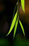 liście wierzbowi tło Zdjęcie Royalty Free
