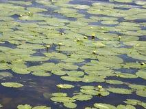 Liście wodni sześciany na jeziorze Zdjęcia Stock