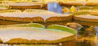 Liście wody lilly Victoria cruziana na tropikalnej staw wody powierzchni f zdjęcie stock