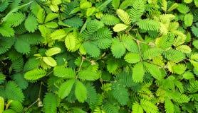 Liście Wyczulonej rośliny lub mimoz pudica zdjęcie stock