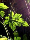 Liście z światłem i cieniem słońce Zdjęcia Stock
