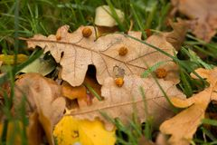 Liście z lipowymi drzewnymi owoc zdjęcie royalty free