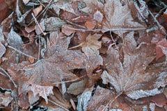 Liście zakrywający lodem Obraz Royalty Free