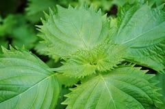 Liście zielonego shiso perilla zielarski dorośnięcie w ogródzie Zdjęcia Royalty Free