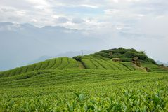 A-Li τσάι Oolong βουνών Στοκ Εικόνα
