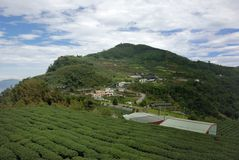 A-Li τσάι Oolong βουνών Στοκ φωτογραφία με δικαίωμα ελεύθερης χρήσης