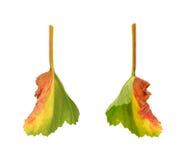 liść chory pelargonium Zdjęcia Royalty Free