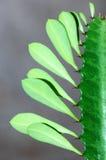 liści kaktusów kolce Fotografia Royalty Free