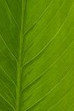 liści spathiphyllum makro Zdjęcie Stock