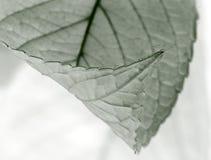 liści srebra Obrazy Stock