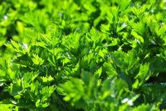 Liści warzywa Zdjęcie Stock