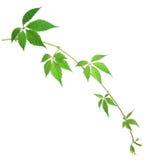 liści z winogron Obraz Stock