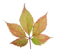 liści z winogron Obrazy Stock