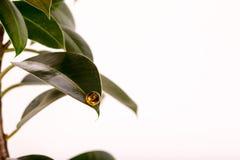 Liścia ficus drzewo z wielkim szklanym koralikiem Fotografia Royalty Free
