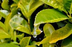 Liścia i mrozu kropla Obraz Stock