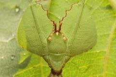 Liścia insekt w Tajlandia Zdjęcia Stock