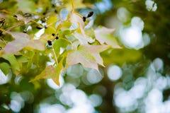 Liścia koloru zmiana Zdjęcie Stock